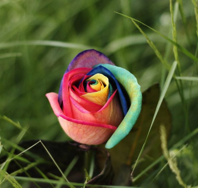 100-Seeds-Rare-Holland-Rainbow-Rose-Flower-Seed-To-Your-Lover